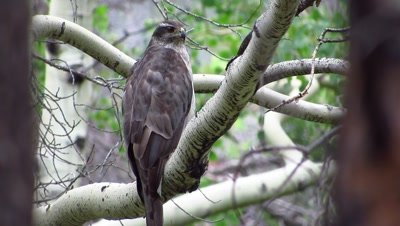 Female Northern Goshawk perched near her nest