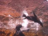 Guadalupe Fur Seal, Mother & Baby