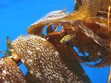 Juvenile Treefish In Drift Kelp