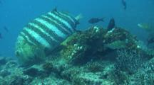 Snapper Seeks Dying Fish Under Coral Head