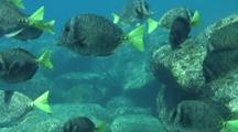 Yellowtail Surgeonfish Swarm