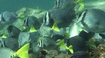 Yellowtail Surgeonfish Swarm And Graze