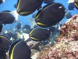 Goldrimmed Surgeonfish Grazing