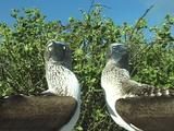 Bluefooted Boobies