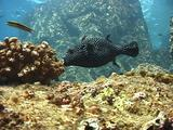 Guineafowl Puffer Eating Coral