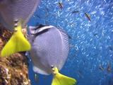 Yellowtail Surgeonfish Feeding