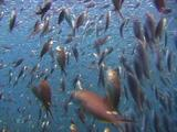 Herring Flee Skipjack Attack