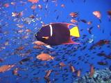 Brown Chromis And King Angelfish