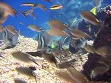 Brown Chromis In Current