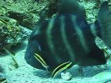 Blunthead Triggerfish Nesting