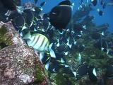 Goldrimmed Surgeonfish Feeding