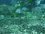 Yellowtail Grunts, Yellowtail Surgeonfish