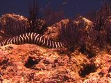 Zebra Eel Foraging