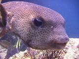 Balloonfish (Puffer Fish) Inspects Camera