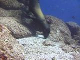 Sea Lion Eats Rubble