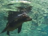 Sea Lion Rests At Surface
