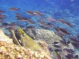 Green Moray With Brown Chromis