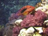 Coral Hawkfish Over Soft Corals