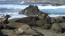 Bull Elephant Seal Attempted Mating