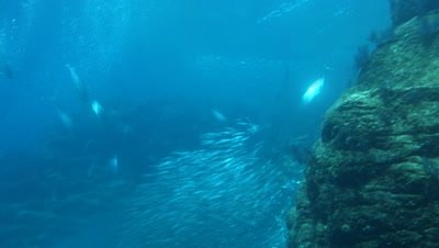 Huge sardine school near reef collaopses from skipjack tuna attack