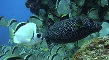 Schooling Barberfish