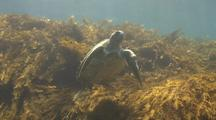 Green Sea Turtle Feeding In Kelp