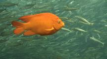 Garibaldi Among Baitfish School