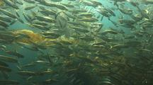 Baitfish In Kelp Forest