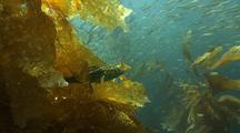 Baitfish In Kelp Forest