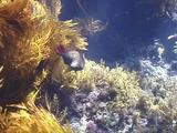 Rare Loosetooth Parrotfish