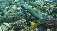 Balloonfish, Triggerfish Eating Barnacles