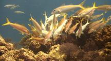 Goatfish Being Cleaned
