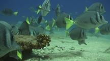 Yellowtail Surgeonfish Before Puffer School