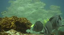 Yellowtail Surgeonfish With Snappers