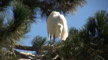 Great Egret Fledgling Preening
