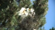 Great Egret Chicks Feeding