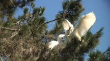 Great Egret Chicks Begging To Be Fed