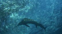 Mackerel School Stock Footage
