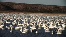 Large Flock Of Snow Geese