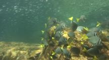 Yellowtail Surgeonfish Feed Under Herring