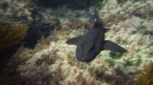 Horn Shark Swims Under Camera