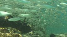 Herring And Scad Stream By Camera