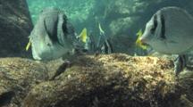 Yellowtail Surgeonfish Graze