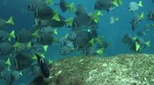 Yellowtail Surgeonfish Graze Damsel Eggs