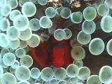 Red Anemonefish In White Anemone