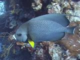 French Angelfish Swims On Reef