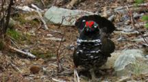 Displaying Bird.  Male Spruce Grouse Walks And Waves Tail To Attract Female