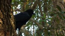 Black Bird. American Crow