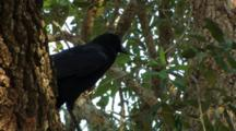 Crow, Black Bird, Calls, Cawing