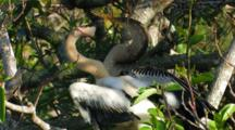 Large Baby Anhinga Nestling Demands Food From Parent